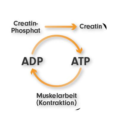 Kreatin - Creatin-Monohydrat - Wirkungsweise ProFuel Kraftschub