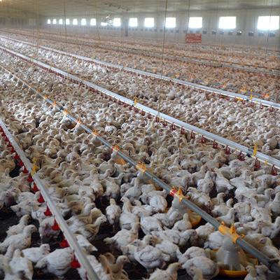 Massentierhaltung - Eier-Industrie Skandal